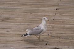Soe o delawarensis faturado do Larus da gaivota em uma doca fotografia de stock royalty free