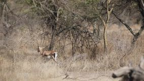 Soemmerring`s Gazelle in Bushy Area. Soemmerring`s Gazelle, Gazella soemmerringii, endemic to Horn of Africa,  is wandering among bushes in Awash National Park stock footage