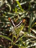Soeur Butterfly, californica de la Californie de bredowii d'Adelpha Image libre de droits