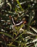 Soeur Butterfly, californica de la Californie de bredowii d'Adelpha Photos libres de droits