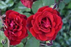 Soeurs de Rose Photo libre de droits