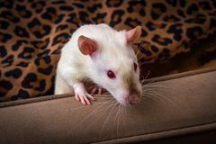 Sof? operato del ratto dell'animale domestico immagini stock
