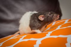 Sofa de fantaisie de rat d'animal familier Photographie stock libre de droits