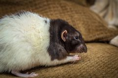 Sofa de fantaisie de rat d'animal familier Photographie stock