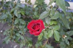 Soffiato del germoglio della rosa rossa Immagini Stock