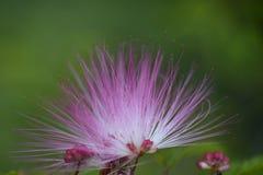 Soffio di polvere rosa Immagini Stock