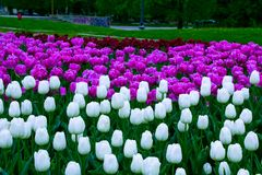 Sofia-τουλίπες λουλουδιών από μια πράσινη κήπος-Βουλγαρία στοκ φωτογραφία με δικαίωμα ελεύθερης χρήσης