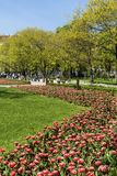 Blooming Tulips in a Spring Garden. Sofia,Bulgaria : April 2018 : Beautiful tulips in a tulip field .Spring background in Sofia city royalty free stock photography