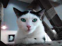 Sofistikerad turkos synad katt Arkivfoto