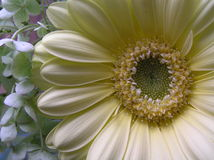 Soft. Close up shot of a very pale yellow gerbera's heart Royalty Free Stock Photos