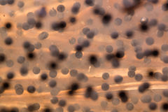 Soft abstract background texture of frog eggs at a flood meadow Stock Images