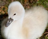 Free Soft And Fluffy Two Day Old Baby Mute Swan Stock Photos - 102326643