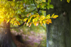 Soft Autumn Background with Colorful Beech Leaves. And Big Trunk royalty free stock photos