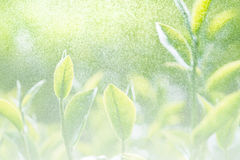 Soft background and blur fresh tea leaf with bokeh and spray wat Royalty Free Stock Photography