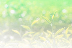 Soft background and blur fresh tea leaf with bokeh and spray wat Stock Photos