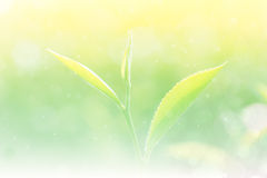 Soft background and blur fresh tea leaf with bokeh and spray wat Stock Photo
