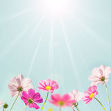 Soft background with pink flower. Stock Image