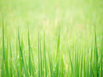Soft background water dew on grass in field. Royalty Free Stock Image