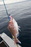 Soft Bait Snapper Fishing. A New Zealand Snapper (Pagrus Auratus) caught on a soft bait lure from a boat off Muriwai Beach, Auckland, New Zealand Stock Photography