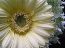 Soft beauty. Close up shot of the heart of a pale yellow gerbera daisy Stock Images