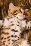 The soft belly of a small kitten was stretched royalty free stock images