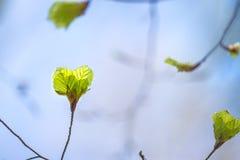 Soft birch leaves Stock Image