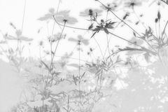Soft blue abstract background, refreshing summer with of cosmos flowers in the garden. Black and white Royalty Free Stock Photos
