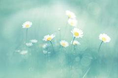 Soft blue blurred daisy flower background Royalty Free Stock Image