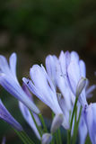 Blue flowers. Spring bring us the beauty of colors in each pleace Royalty Free Stock Photography