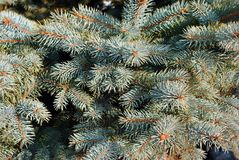 Soft blue pine twigs with needles, soft blurry background close up. Detail royalty free stock photo