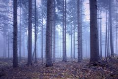 Soft blue pink colored foggy conifer forest royalty free stock photo