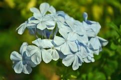 Soft blue plumbago flowers Royalty Free Stock Photos