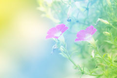 Soft blur abstract background with of cosmos flowers. Royalty Free Stock Photos