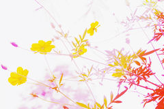 Soft blur abstract background with of cosmos flowers Stock Photo