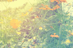 Soft blur abstract background with of cosmos flowers in the garden. Pastel color tone Royalty Free Stock Image