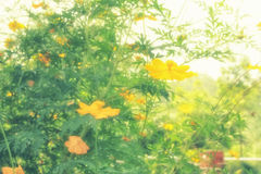 Soft blur abstract background with of cosmos flowers in the garden. Pastel color tone Stock Image