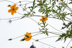 Soft blur abstract background with of cosmos flowers in the garden. Pastel color tone Royalty Free Stock Photo
