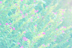 Soft blur abstract background with of cosmos flowers in the garden. Pastel color tone Stock Photography