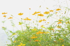 Soft blur abstract background with of cosmos flowers. Royalty Free Stock Images