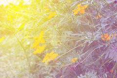 Soft blur abstract background with of cosmos flowers Stock Images