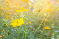 Soft blur abstract background with of cosmos flowers . Royalty Free Stock Images