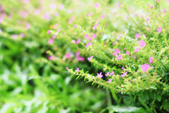 Soft blur beautiful green field with small pink flowers out of focus Stock Photos