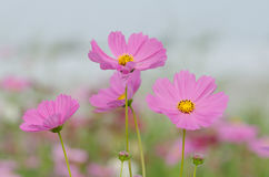 Soft blur Cosmos flower Cosmos Bipinnatus under sunlight with. Blurred background Royalty Free Stock Photo