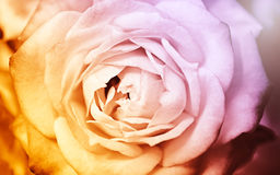 Soft and blur of fantasy rose, pink and yellow Stock Photos