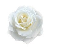 Soft blur focus white rose on white blackground with copy space. Soft blurred focus of white rose on white blackground with copy space stock photography