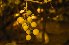 Soft blur green grapes and leaves on grape vine background Royalty Free Stock Photos