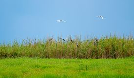 Soft blur image of wild bird habitat in the green grass field with blue sky as background and some bird is flying over the habitat royalty free stock images