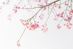 Soft blur of pink flowers. Cherry blossom or sakura flower on nature background Stock Image