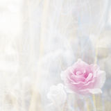 Soft blur pink rose Stock Photo