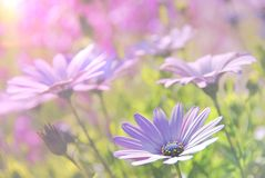 Soft blur Purple African Daisy in garden Royalty Free Stock Image